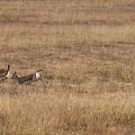 Goitered gazelles in Vashlovani National Park